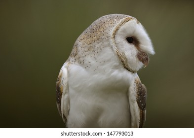 This is a close up of a barn owl in side view