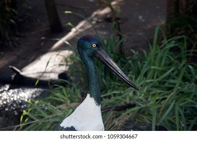 this is a  close up of a  black necked stork
