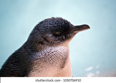 this is a  close up of a  fairy penguin