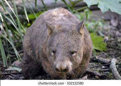 this is a close up of a hairy nosed wombat
