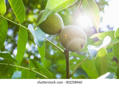 This is close up image of walnut tree with young walnuts on sunny day