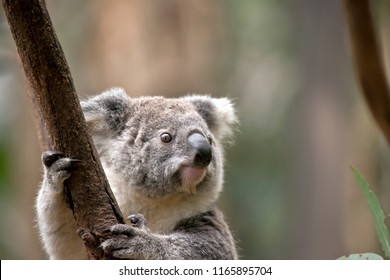 this is a close up of a joey koala