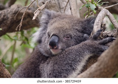 this is a close up of a koala in a tree