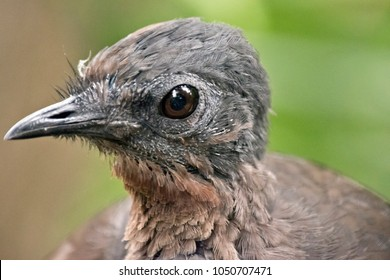 this is a  close up of a lyrebird