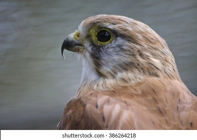 this is a  close up of a nankeen kestrel