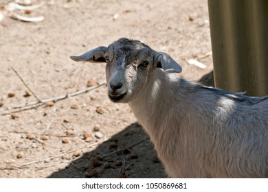 this is a  close up of a  nanny goat