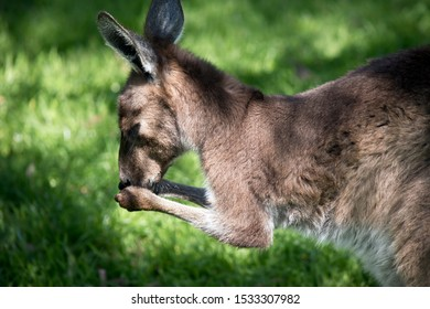this is a close up og a western grey kangaroo washing it face with its paws