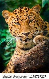 This close up portrait of an endangered Amur Leopard was shot at a local zoo in a light overcast condition. Normally, this big cat is nocturnal and either sleeping or hungry and rapidly moving