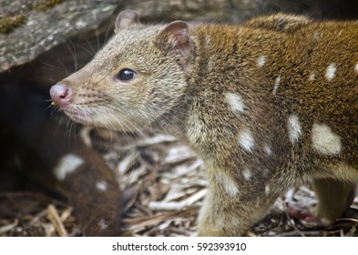 this is a close up of a quoll