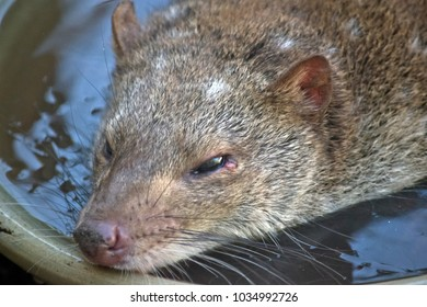 this is a  close up of a quoll cooling off