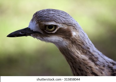 this is a close up of the side view of a curlew