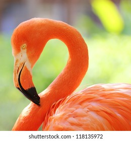 This close up, detailed flamingo head and neck portrait with eye in focus, a nice even and full back ground blur, of a Flamingo enjoying the afternoon sunshine. Square composition.