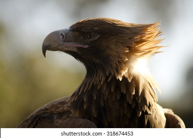 this is a close up of a wedge tailed eagle