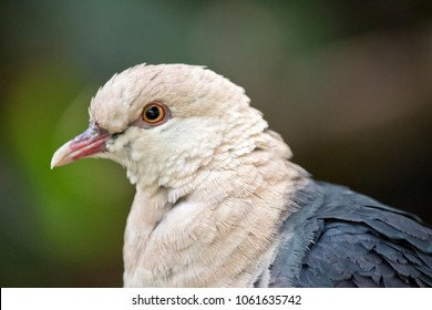 this is a  close up of a  white headed pigeon