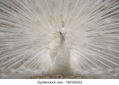 this is  a close up of a white peacock