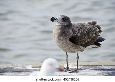 this is a close up of a young pacific gull