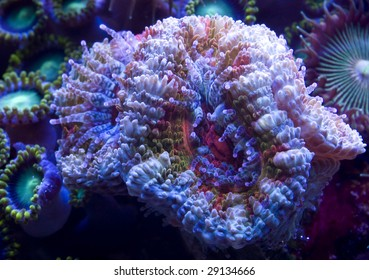 This is a closeup shot of a Acanthastrea coral colony with its sweeper tentacles exposed.