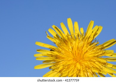 this is a closeup shot of dandelion with blue sky in background.