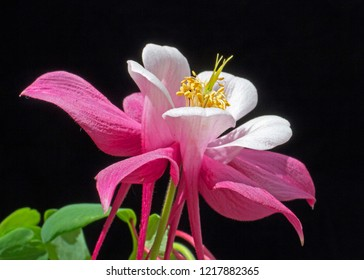 This is a close-up side view of a pink and white flower of a plant commonly known as a Columbine, of the genus Aquilegia. It is a perennial.