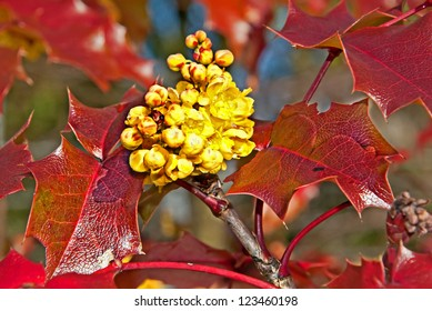 This is a closeup of the yellow Oregon grape Mahonia aquifolium flower on reddish, very shiny leaves.  Beautiful nature image of this plant.