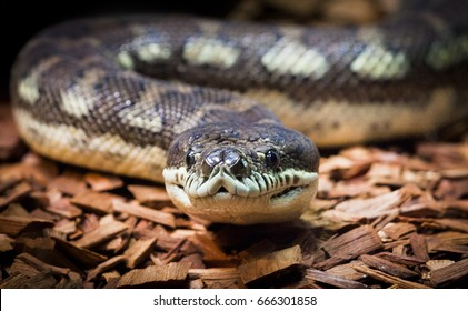 This is a Coastal Carpet Python. At up to 4 meters, it is the largest subspecies of Carpet Python and is found in Queensland and New South Wales in Australia.