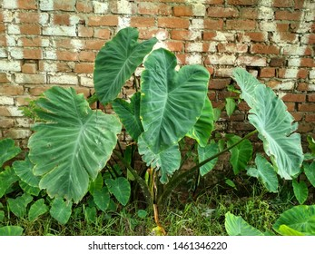 This is Colocasia plant .It's leaf is edible .