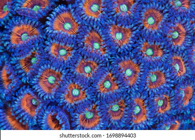 This is a colony of armor of god palythoa coral.  These are very vibrant soft corals.