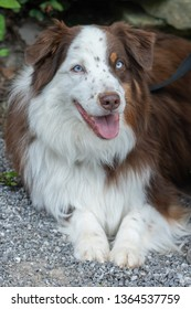 This is a color image of a red and white merle colored Australian Shepherd sitting and posing for the camera. It is a close up showing the male dogs blue eyes.