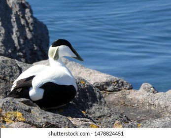 This Common eider is captured in the Ertholmene - islands north-east of Bornholm