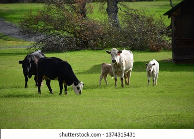 This cow photo was taken on our rural ranch in the western part of Northern California.