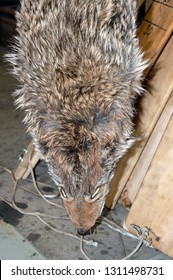 This coyote will no longer prey on small animals. The trapper, participating in wildlife management, took the predator in Missouri and has put him in the workshop to dry.