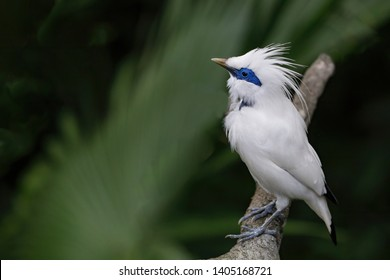 This Critically Endangered species is the national symbol of the Island of Bali. This beautiful bird has been discovered in 1912.