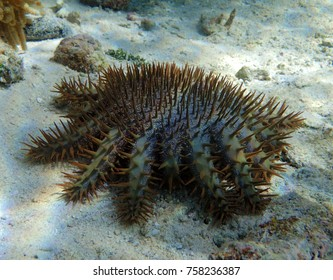 This is a Crown of Thorns Star Fish on the reef in Guam.