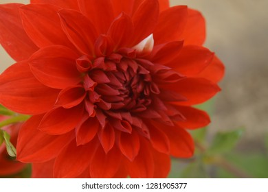 this is dalia flower