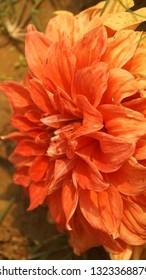 this is dalia flower