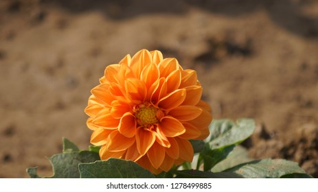 this is dalia flower in garden