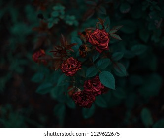 This is a dark, moody capture of some beautiful, but dying roses.