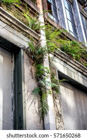 This is a deserted building with green plants growing out of it in the French Quarter of New Orleans LA USA.  Many buildings like this have been converted into apartments and condos.