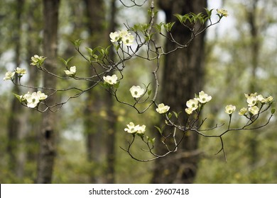 This is a Dogwood tree blooming in spring.