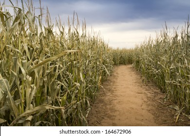 This dry and dusty footpath through a late fall cornfield takes on a very unusual hue on this overcast evening. This path is actually part of a large cornfield maze setup for Halloween.