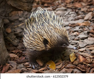 This Echidna is one of the last survivors of an ancient branch of the evolutionary tree. Although they are warm blooded mammals they lay eggs like birds and reptiles.