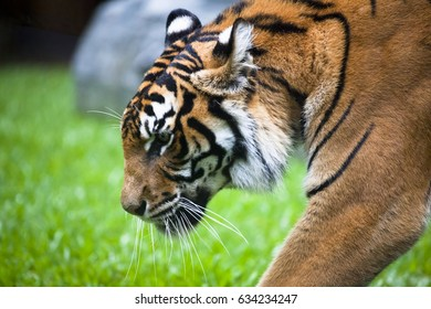 This is an eight year old Bengal Tiger. Head and shoulder of big cat walking.