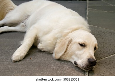 This is an English Golden Retriever dog, lying down, yet awake, in a horizontal image.