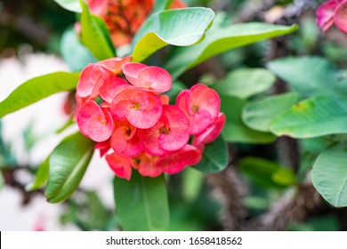 This is a Euphorbia milli flower,Crown of Thorns flower, Red and pink  flower with thorns. Euphorbia milii Desmoul. thorn tree Crown of thorns plant,green leaf.