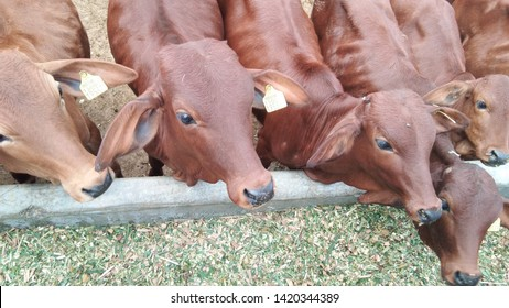 This is the famous breed of cow,Red Sindhi sepecially in India