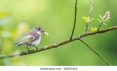 This female pied flycatcher {Ficedula hypoleuca} was catching stoneflies to feed its family. Perched on a willow tree over the Usk river in the Brecon Beacons. May