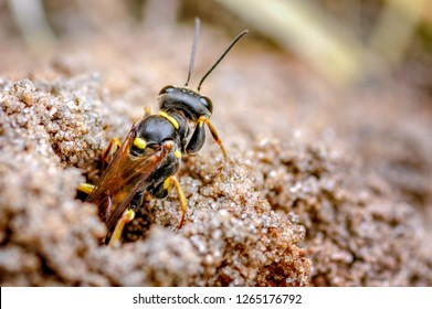 This is the field digger wasp, Mellinus arvensis in our rear garden, September. The wasp hunts for a range of flies for their larval brood cells. Digger wasps nest in open sandy areas.