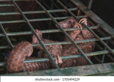 This file photo taken in Pekanbaru, Riau province on October 25, 2017 shows a pangolin seen in a cage after a recent raid in Pekanbaru.