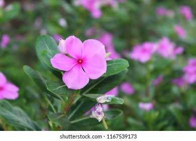 This Flower name is Periwinkle. Periwinkle is Different color. This Periwinkle color is Pink. Its name is derived from the pin periwinkle . This is a closeup photo.