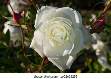 """This flower is rose. The name of this rose is """"Iceberg (Schneewittchen)""""."""